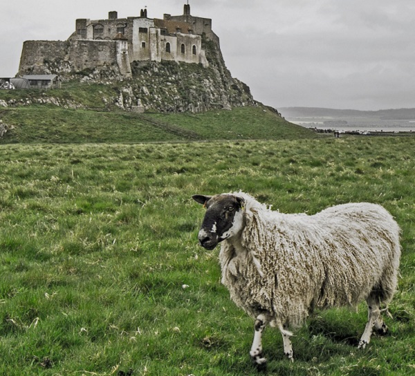 A sheep in Lindafarne island and a castle behind it