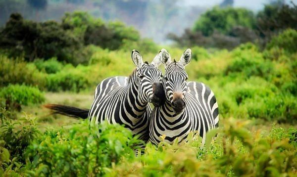 Zebras in Longleat Safari Park